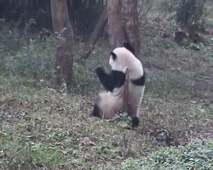 Enlace a Pandas que fueron strippers en una vida anterior