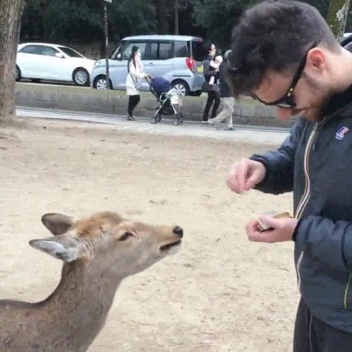 Enlace a Los ciervos japoneses están más que educados