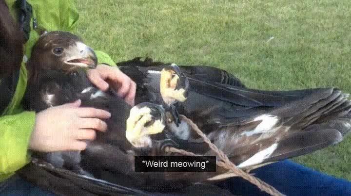 Enlace a Águilas que fueron gatos en otra vida