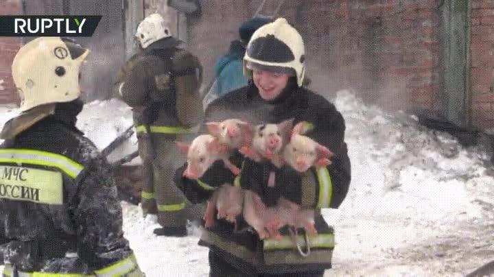 Enlace a La cara de satisfacción que se te queda cuando le salvas la vida a cinco cerditos en un incendio
