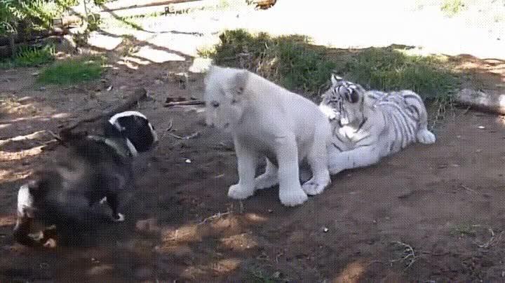 Enlace a Un león, un tigre y un Bulldog resultan ser los mejores amigos