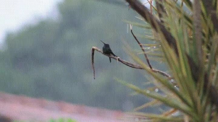 Enlace a Pájaro disfrutando de un día de lluvia