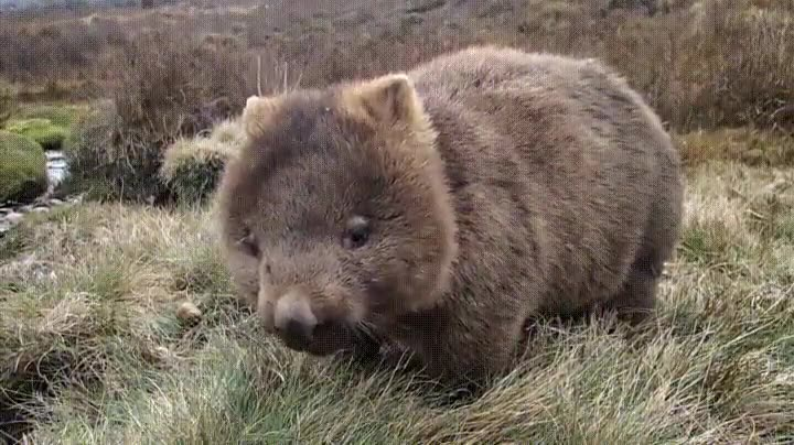 Enlace a Wombat en su hábitat natural. Si es que son adorables