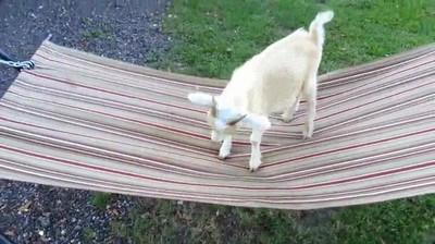 Enlace a Cabra rebelde que lucha contra la hora de hacer la siesta