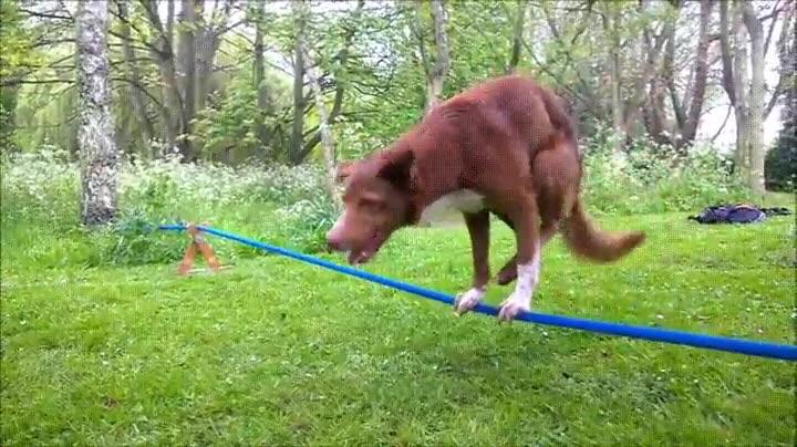 Enlace a Perros que tiene un gran equilibrio sobre la cuerda floja