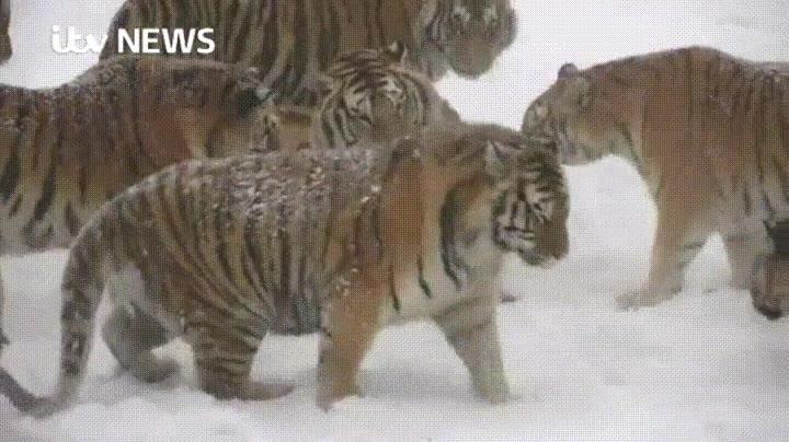 Enlace a Tigres cazando un dron y analizando sus componetes