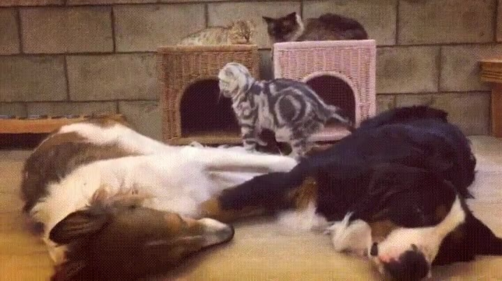Enlace a Gato siendo muy cuidadoso de no despertar a esos grandullones
