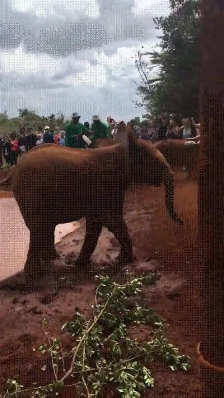 Enlace a Bebés elefante tomándose muy en serio la hora del desayuno