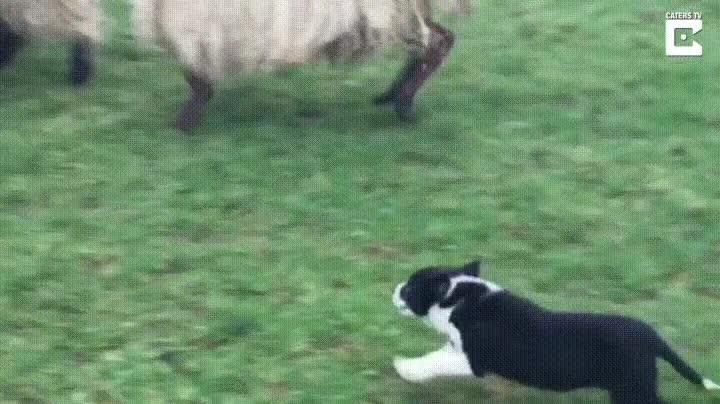 Enlace a El primer día de trabajo de un perro pastor