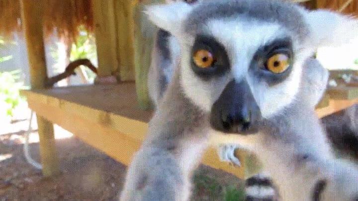 Enlace a Lemurs curioso investigando el funcionamiento de una cámara