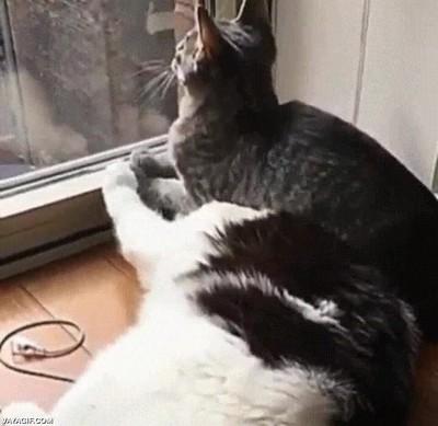 Enlace a Gatos que se toman MUY en serio la tarea de vigilar por la ventana