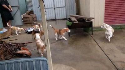 Enlace a Beagles pasándolo en grande persiguiendo un coche radiocontrol
