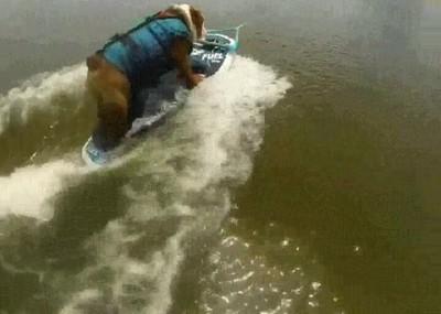 Enlace a Bulldog surfeando con más estilo del que tendrás nunca