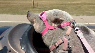 Enlace a Un cerdo en sidecar. Suficiente internet por hoy