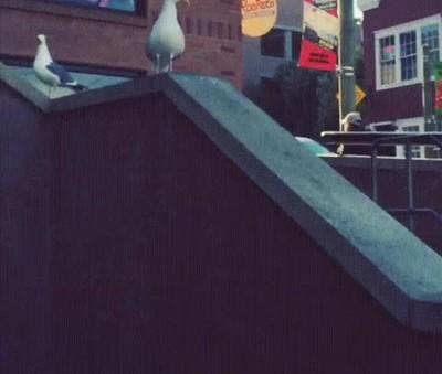 Enlace a Pájaro urbano demostrando sus habilidades a la cámara