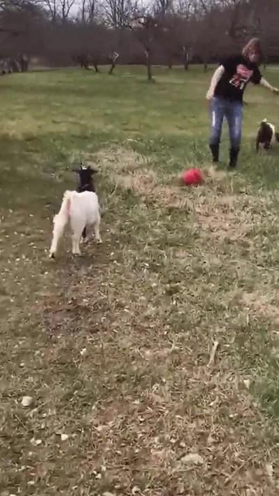 Enlace a Animales que aprenden a simular penalti.