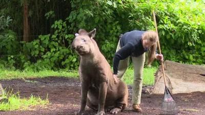 Enlace a Los tapires son uno de los animales más raros que has visto