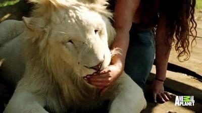 Enlace a Los leones también pueden llegar a ser animales de lo más cariñosos