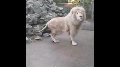 Enlace a El Rey de la Selva es un poco asustadizo