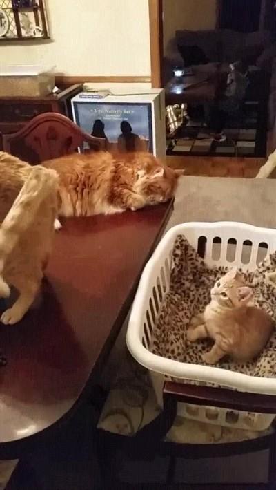 Enlace a Mamá gato utilizando la hipnosis para dormir a su pequeño