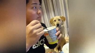 Enlace a Perros que quieren yogurt pero son demasiados tímidos para pedirlo