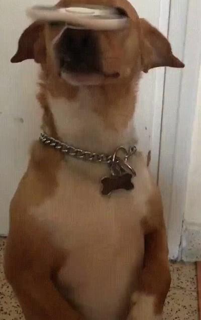 Enlace a Los perros también se han enganchado a este juguete del diablo