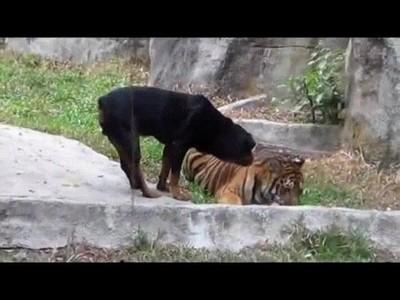 Enlace a Perro temerario intentando robar comida de un tigre