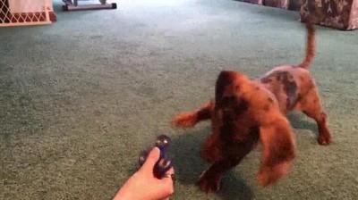 Enlace a Perro intentando adivinar cómo funciona un fidget spinner