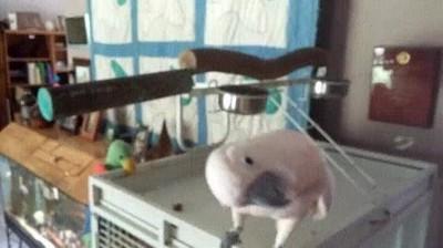 Enlace a Pájaros aficionados al heavy metal