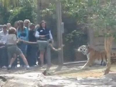 Enlace a Jugando a estirar la cuerda contra un tigre