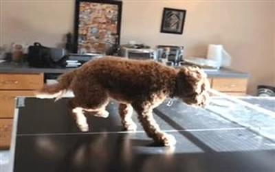 Enlace a Lo que hace mi perro cuando estamos jugando a ping pong y nadie le hace caso