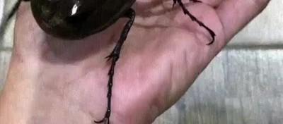 Enlace a Uno de los coleópteros más grandes que he visto nunca