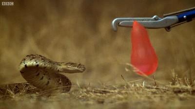 Enlace a El ataque de una serpiente a camara lenta