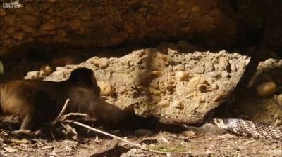 Enlace a La pelea por un ratón entre una serpiente y un mono