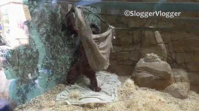Enlace a Orangutan construyendo una hamaca para echar una siesta