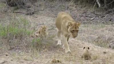 Enlace a Mamá leona siendo cariñosa con su pequeño