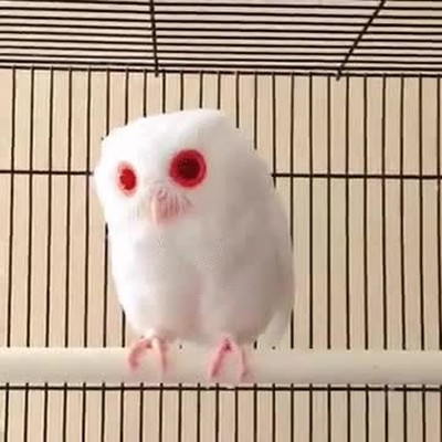 Enlace a Búho albino, pocas veces habrás visto algo así
