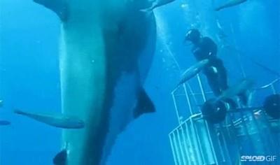 Enlace a El mayor tiburón blanco jamás filmado