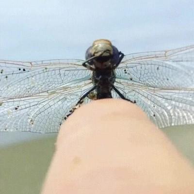Enlace a Las libélulas son jodidamente adorables