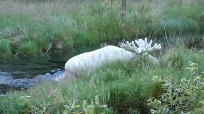 Enlace a Alce albino, majestuosidad pura
