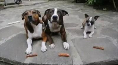 Enlace a Esto demuestra que los perros pequeños son más listos que los grandes