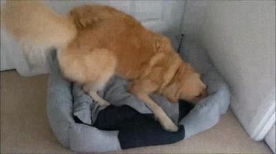 Enlace a Perros que no pueden contener la emoción cuando consiguen una cama nueva