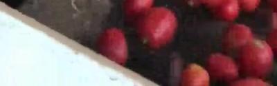 Enlace a Esta máquina es capaz de separar los tomates según su color