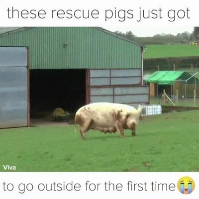 Enlace a La primera vez que un grupo de cerdos rescatados corren en libertado por el campo
