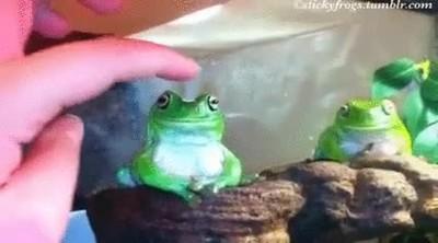 Enlace a Las ranas pierden la paciencia de forma extremadamente rápida