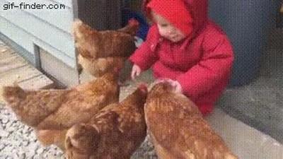 Enlace a Y por eso solo las personas mayores deberían dar comida a las gallinas