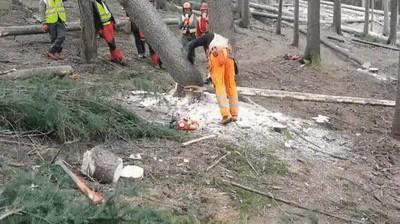 Enlace a Así talan árboles los profesionales. Ningún tipo de riesgo