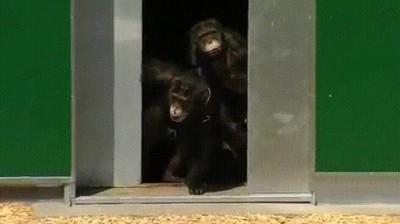 Enlace a Momento en el que varios chimpancés son puestos en libertad por primera vez en 30 años