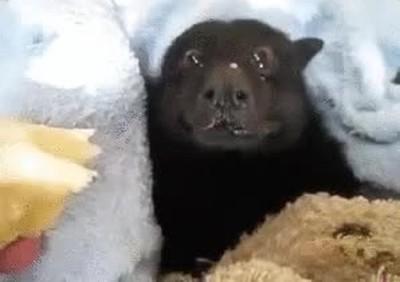 Enlace a Un murciélago comiéndose un plátano es más adorable de lo que imaginas
