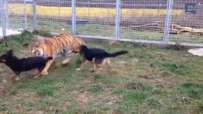 Enlace a Un tigre siberiano que ha sido criado en compañía de perros durante toda su vida